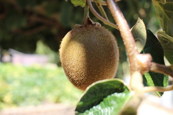 Apparently, kiwis are grown here as well. I didn't know that.